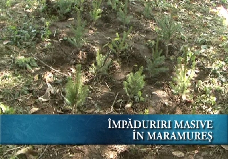 Impăduriri masive în Maramureş