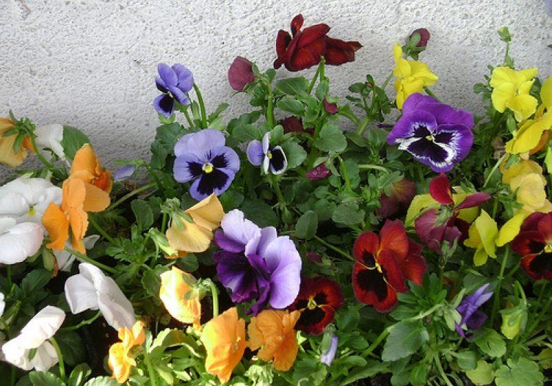 A început campania de plantare a florilor