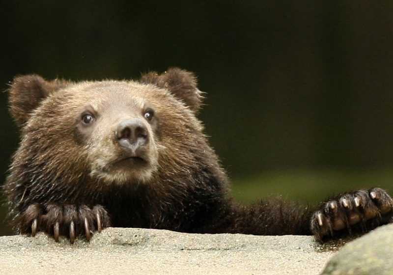 Primăvară confirmată de ursul carpatin