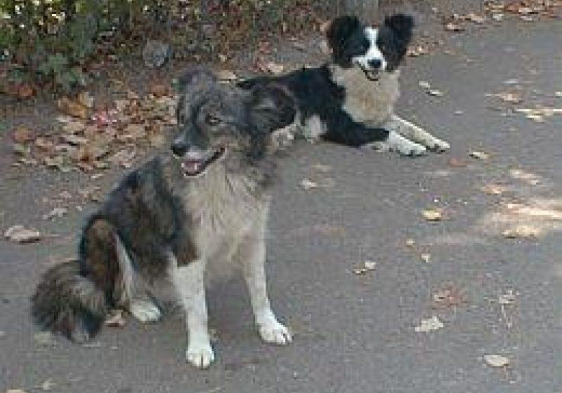 Primăria Sighet organizează, mâine 20 mai, audiere publică pe tema sterilizării sau eutanasierii câinilor comunitari