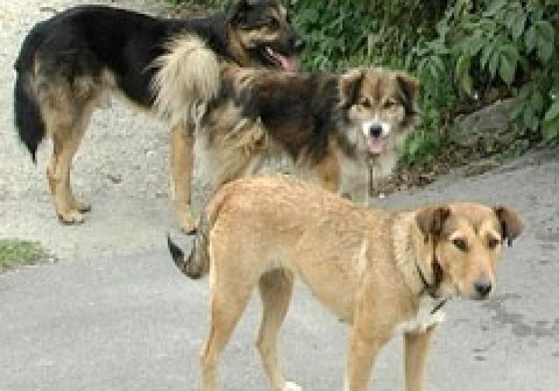 Fenomenul câinilor vagabonzi pare să fi scăpat de sub control