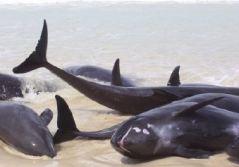 12 delfini morţi, aduşi de apele mării la ţărm în ultimele 24 de ore