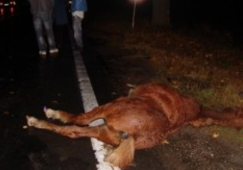 Un cal accidentat a fost lăsat sa zacă în chinuri groaznice timp de 12 ore într-un şanţ de pe DN 18, la ieşirea din Sighet spre Vadu Izei