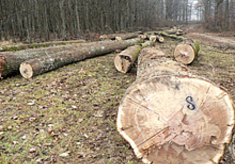Coştiui: Doi tineri au tăiat arbori nemarcaţi din pădure, după care i-au ascuns în zona gropii de gunoi