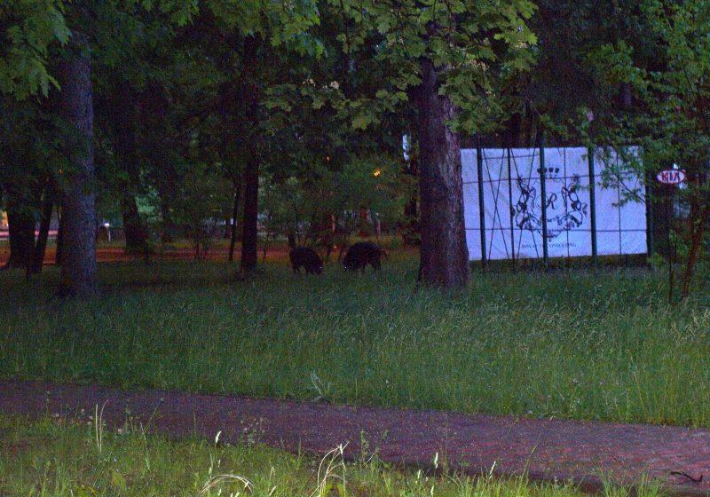 """Baia Mare: Autoritatile judetene spun ca vor lua masuri impotriva porcilor mistreti care """"viziteaza"""" Parcul Municipal seara de seara"""