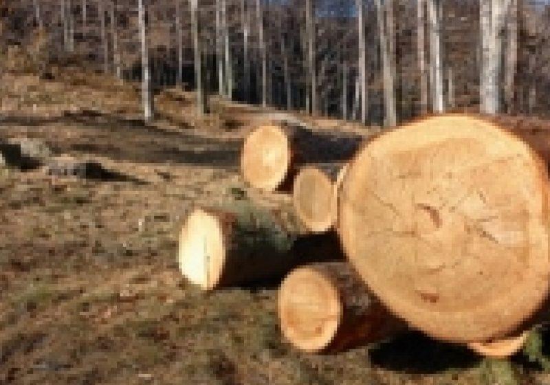 Ocolul Silvic Sighet desfăşoară razii şi controale pentru a preveni tăierile ilegale de arbori