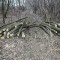75 de copaci tăiați ilegal