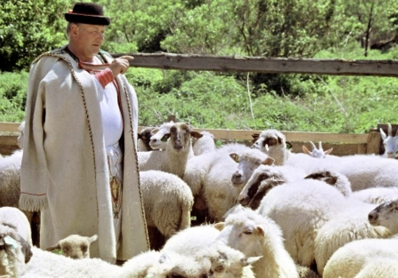 """Cioban cu 109 oi, rătăcit în zona """"Văii Tisa"""" din Cavnic"""