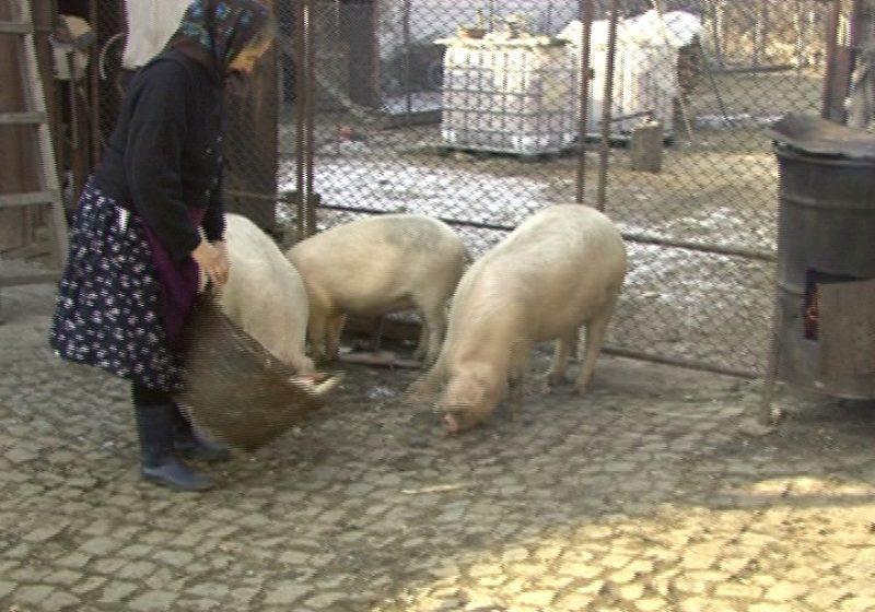A început campania de verificare a porcinelor din Maramureş pentru a putea fi dat startul la vânzarea acestor exemplare în târgurile din judeţ