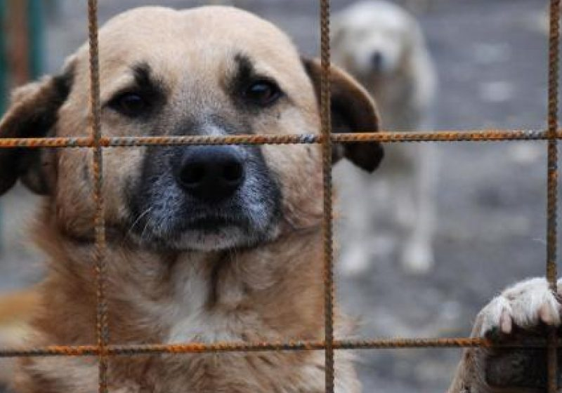 Pana la noi solutii, cainii comunitari urmeaza sa fie in continuare crotaliati