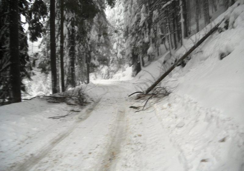 Mai mulţi copaci s-au prăbuşit sub greutatea zăpezii apoase în Pasul Gutâi