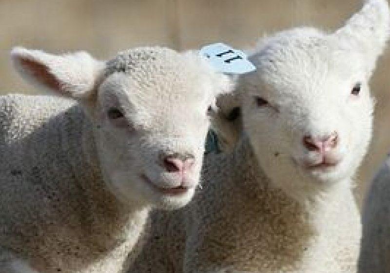 """Iedul """"bate"""" mielul: de ce este mai sănătoasă carnea de ied şi decât puiul şi vita"""