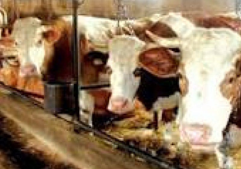 Promovarea vitei de carne în MARAMUREŞ