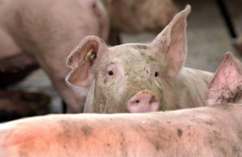 ÎNGRIJORARE: Oamenii le cer explicații primarilor în legătură cu pesta porcină