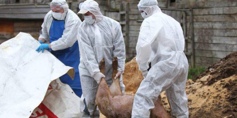 ULTIMA ORĂ: După Ieud – unde boala a fost confirmată – e suspiciune de pestă porcină și la Oncești