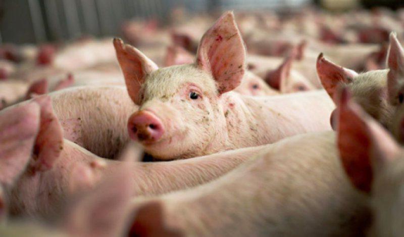 ULTIMA ORĂ: Suspiciune de Pesta Porcina Africană în Ieud