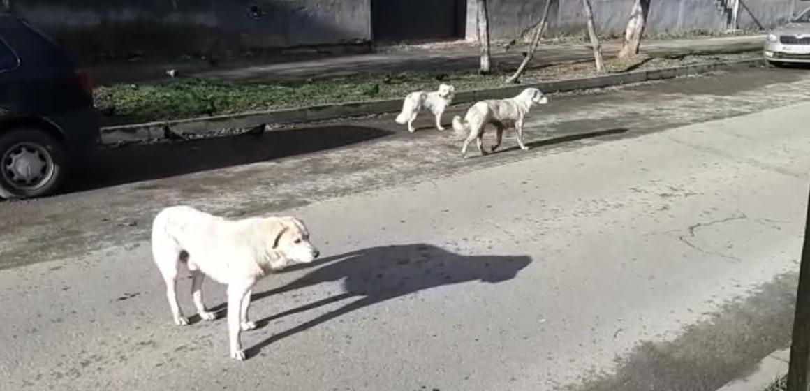 Video|Haită de câini pe străzile din Sighet