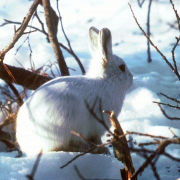 Ați auzit de iepuri carnivori, bașca și canibali? Ei bine, cică există!