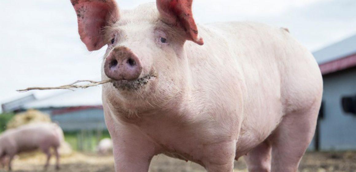 Patru români riscă să ajungă după gratii după ce și-au tăiat porcul în ogradă în Italia