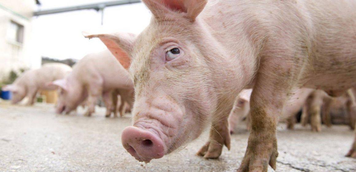 Video|Maramureșean trimis în judecată pentru răspândire a pestei porcine africane