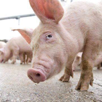 VIDEO | S-a ales cu porcii omorâți fiindcă îi transporta fără acte privind proveniența și starea de sănătate a animalelor