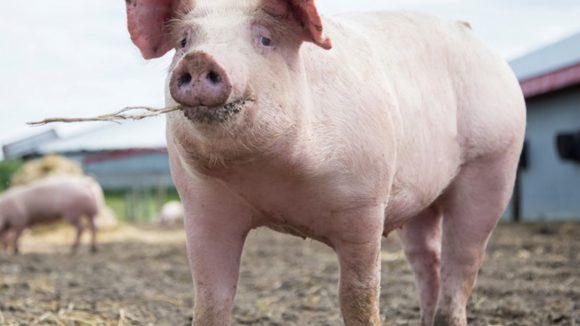 VIDEO | A rămas fără 22 de porci fiindcă nu avea documente sanitar-veterinare pentru ei