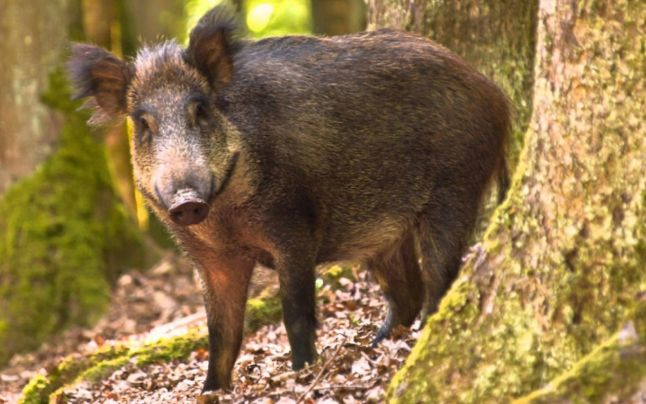 Pestă porcină africană confirmată la un porc mistreț vânat pe raza comunei Groșii Țibleșului