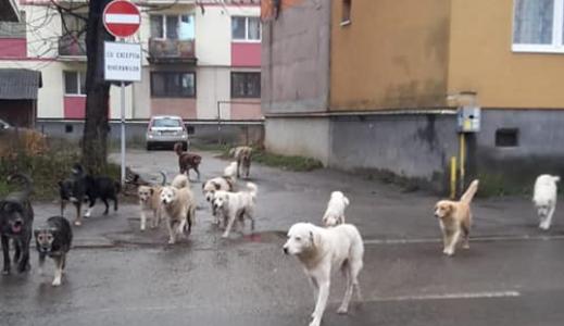 VIDEO | Campanie gratuită de sterilizare a câinilor la Sighet