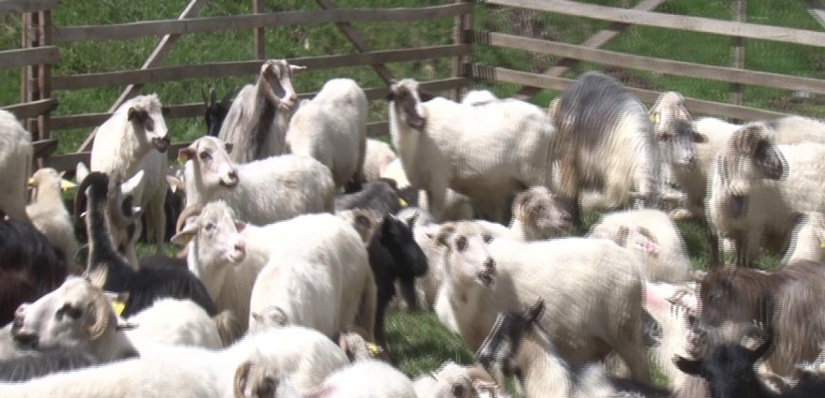 VIDEO | Crescătorii de ovine vor primi și în 2019 ajutor de minimis pentru comercializarea lânii