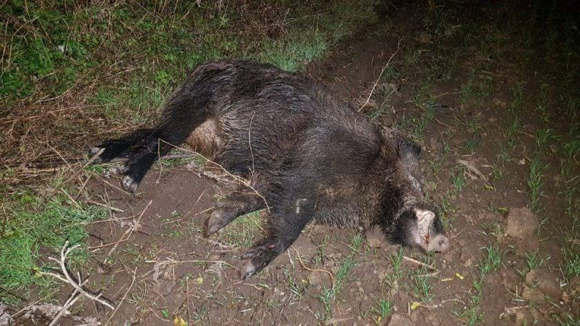 VIDEO | Restricții în Maramureș din cauza pestei porcine, după confirmarea virusului la un mistreț găsit mort în zona Bistra