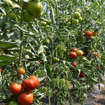 VIDEO | Programul de sprijin pentru tomate prezintă interes din ce în ce mai mare pentru producătorii agricoli