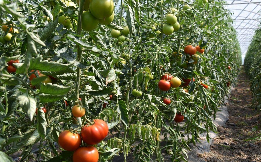 VIDEO   Programul de sprijin pentru tomate prezintă interes din ce în ce mai mare pentru producătorii agricoli