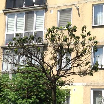 VIDEO   Copacii din cartierul Independenței se usucă din cauza păduchilor de plante