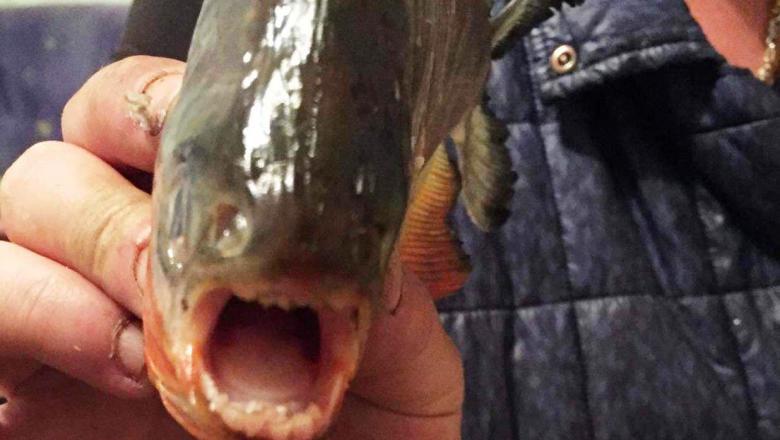Pești Piranha găsiți într-un lac din Maramureș