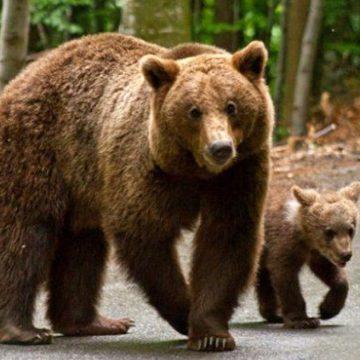 VIDEO | Sfaturi de la jandarmii montani pentru a evita atacurile urșilor