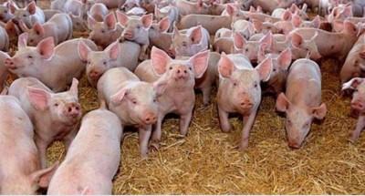 Anunțurile cu oferte de carne de porc și porci de pe site-urile de mică publicitate s-au înmulțit