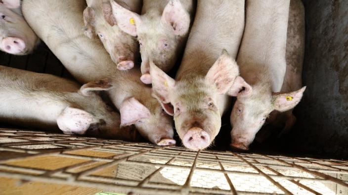 Au apărut noi reglementări în cazul sacrificării porcilor și mieilor