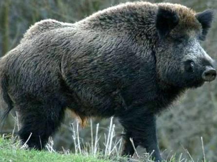 Pestă porcină confirmată la un porc mistreț găsit decedat pe un fond de vânătoare la Seini, respectiv la Huta