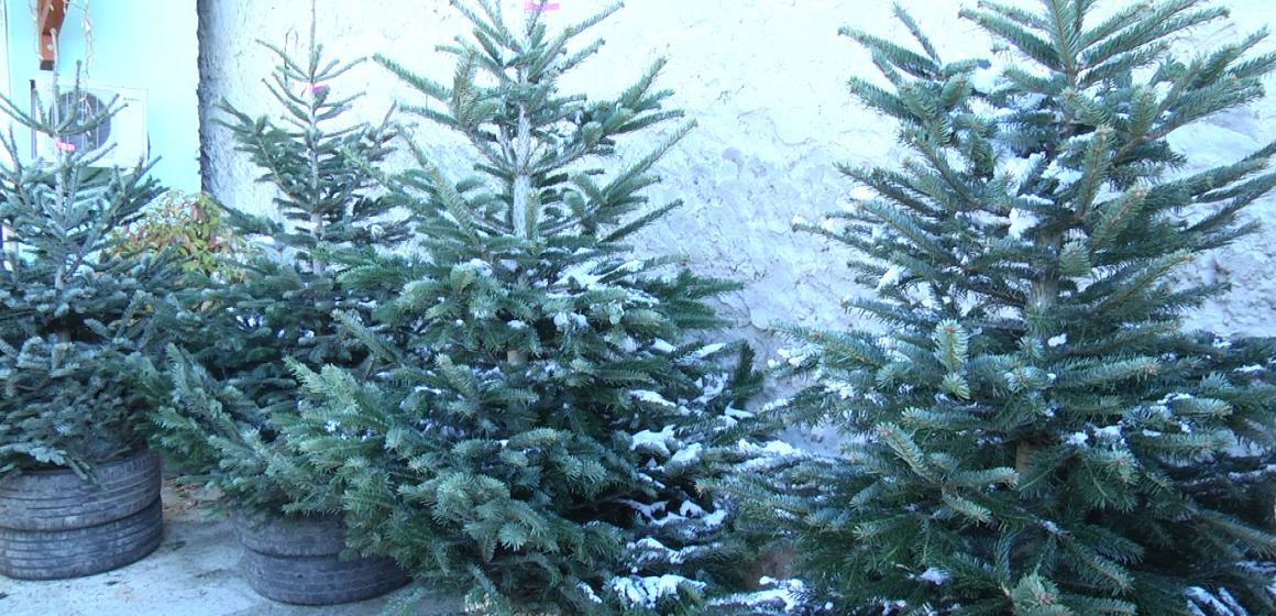 VIDEO | Ofertă bogată de pomi de Crăciun în Sighet