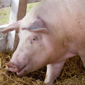 VIDEO | Situația focarelor de pestă porcină africană în Maramureș