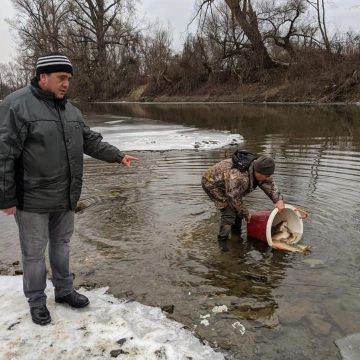 Acțiuni de repopulare cu pește pe Someș și Lăpuș