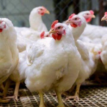 VIDEO | Măsuri de combatere a gripei aviare după cazul de la Seini