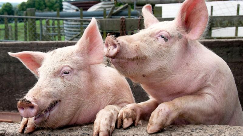 Noi măsuri propuse pentru creșterea porcilor