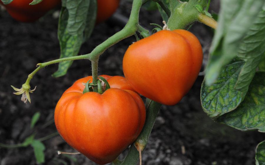 VIDEO | Programul de sprijin pentru tomate continuă și în 2020