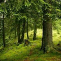 Nu se mai taie lemn din pădurile mai vechi de 140 de ani