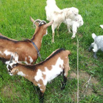 VIDEO | Târgul de animale s-a mutat pe net