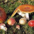 Atenție!Uneori, chiar și ciupercile comestibile, pot da semne toxice