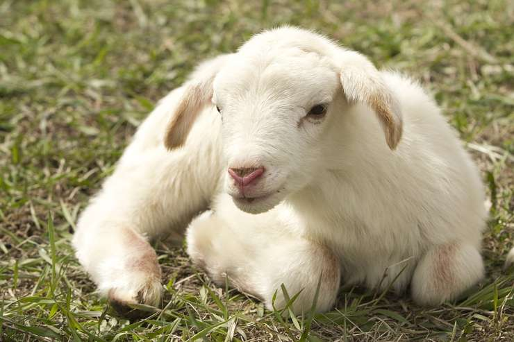 VIDEO | Se efectuează plăți pentru creșterea animalelor