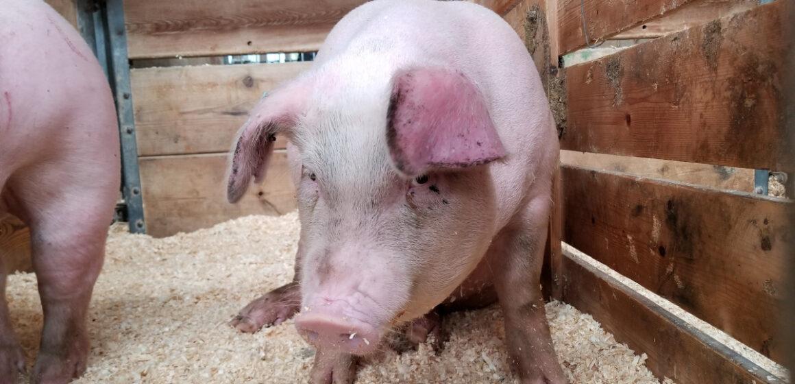 În acest moment DSVSA gestionează un număr de 17 focare active de pestă porcină la nivelul județului Maramureș