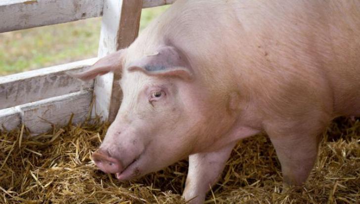VIDEO | Pestă porcină africană confirmată într-o gospodărie din localitatea Săcel